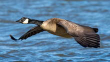 Canadian Geese On The Lake
