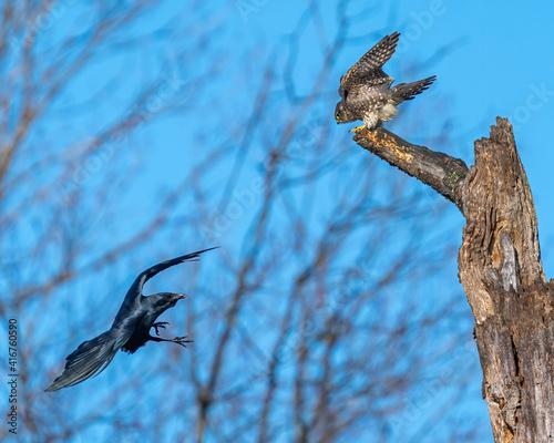 Fototapeta premium Merlin Falcon perched on a branch