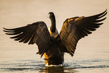Canada Goose Spreading Its Wings