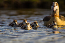 Egyptian Goose Mother With Her Five Goslings On The Lake