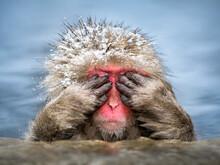 Cute Japanese Macaque Also Known As Snow Monkey At The Jigokudani Monkey Park, Nagano, Japan