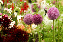 A View Of Flowers On Tall Thin Stems With Purple Pompom Like Heads A Butterfly Rests On One