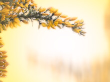 Yellow Flowers Of Gorse Cover A Thorny Green Branch In Spring Against A Buttery Yellow Background With Copy Space.  Horizontal Arrangement