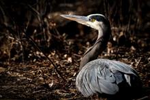 Great Blue Heron - Shadows