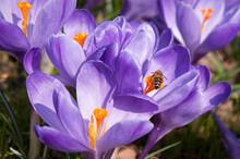 Groupe De Fleurs De Crocus Violet Avec Une Abeille Qui Butine