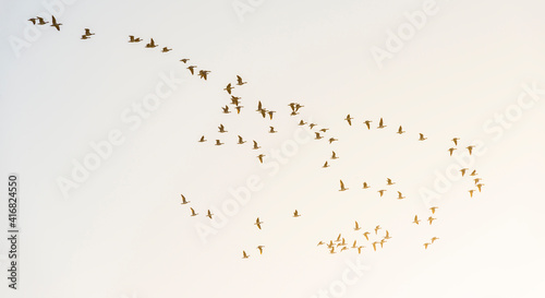 Canvas Print Flock of geese flying in a blue sky in bright sunlight at sunrise in winter, Alm