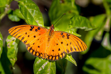 Close-up Of A Gulf Fritillary Butterfly.