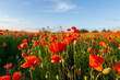 Flowers Red poppies blossom on wild field. Beautiful field red poppies with selective focus. Red poppies in soft light.