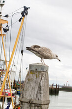 Seagull Standing On A Pole In The Harbor, Fishing Trawler In The Background