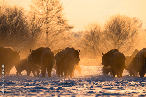 Obraz na plátně Herd of european bisons on field