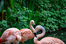 Flamingo Birds. The American Flamingo (Phoenicopterus Ruber) Is A Large Species Of Flamingo Also Known As The Caribbean Flamingo