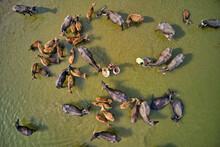 Aerial View Of A Cattle Crossing The Brahmaputra River From A Sandy Shoreline, Sariakandi, Rajshahi Province, Bangladesh.