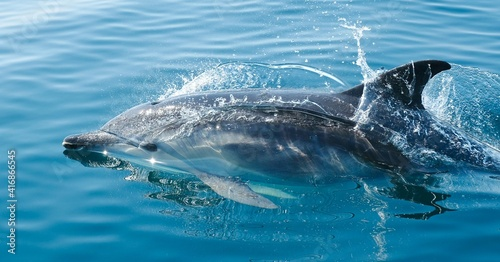 Tablou Canvas dolphin in the water