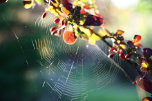 The Web Sparkling In The Evening Sun. The Water Color Bright Branch Of A Barberry With Leaves And Berries Is Behind Located.