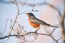 American Robin Perches On Leafless Branch