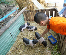Asian Boy Is Feeding Pig On A Farm, Group Of Baby Vietnamese Pot Bellied Pigs On The Yellow Straw In The Stall,  Young Farmer Wearing Orange Color Shirt In Thailand