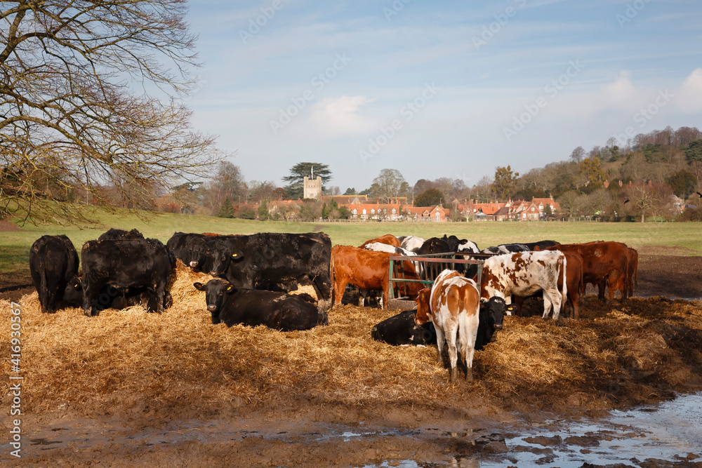 Fototapeta Herd of cows in a field, pretty UK village and countryside