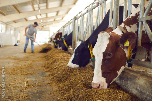 Stampa su Tela Herd of healthy dairy cows feeding in row of stables in feedlot barn on livestoc