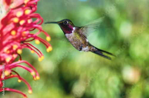 Fototapeta premium hummingbird amethyst woodstar feeding on a flower