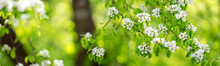 Blurred Plum Tree Background In Bloom In Spring