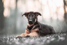 Portrait Of A German Shepherd Puppy, Three Month Puppy, In Natural Environment With A Bokeh Background In The Golden Hour