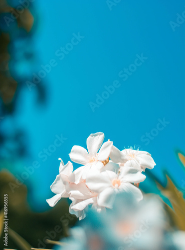 Fototapety, obrazy: white flower on blue