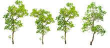 Mangrove Tree On White Background. With Clipping Path For Easy Usage In Design Projects.