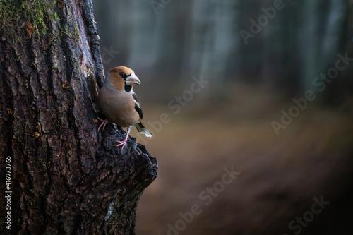 Fototapeta Hawfinch on tree.