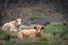 Resting Cows In A Pasture With Some Friends!