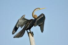 Oriental Darter Bird Is Sitting On A Pole