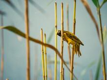Village Weaver Bird In Nature South Africa