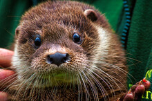 Close Up Of A Otter