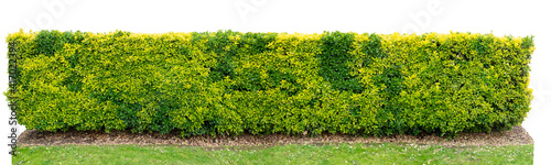 Canvas Green and yellow variegated golden euonymus bush hedge isolated on white