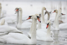 White Swan Flock In Spring Water. Swans In Water. White Swans. Beautiful White Swans Floating On The Water. Swans In Search Of Food. Selective Focus