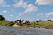 A Small Herd Of Black, White And Brown Cows (Bos Taurus) Standing Beside A Riverbank; Beneath A Bright Blue Cloudy Sky On A Summer Day - English Pastoral Scene (Norfolk Broads, UK)