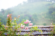 Rain On Old Roof Of A House And On Roses
