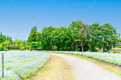 Photographie ネモフィラ花 植物 くじゅう花公園 うららかな春の季節 美しい花の楽園風景 日本 大分県竹田市 くじゅう花公園 Flower plant Kuju Flower