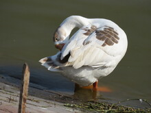 A Duck Cleaning Itself In Sunlight.