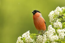 Bullfinch Sitting On The Blooming Twig. Male Bullfinch In The Nature Habitat. Pyrrhula Pyrrhula. Spring In The Nature.