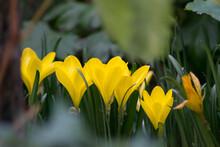 Beautiful Blooming Yellow Crocuses In The Garden, Spring Crocuses In A Meadow, Wild Flowers