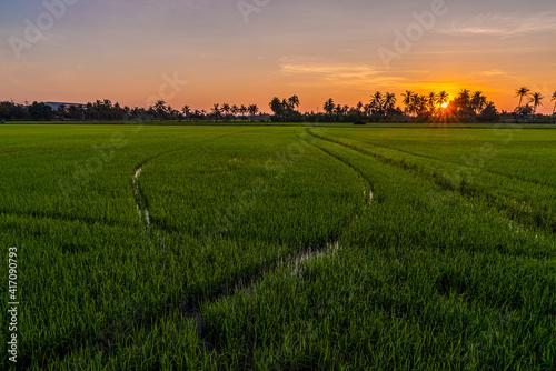 Fototapeta Green fresh rice field with sunrse  obraz