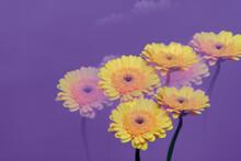 Yellow Gerbera Purple Backdrop Double Exposure