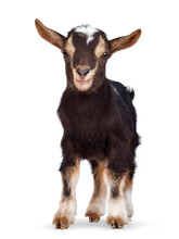 Cute Brown Baby Goat, Standing Facing Front. Looking Straight To Camera Showing Both Eyes. Isolated On A White Background.