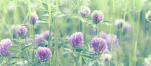 Wild Meadow With Red Clover. Natural Habitat For Honey Bee And Other Insects