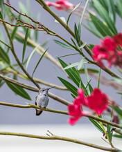 Anna's Hummingbird Perched On A Tree Branch, California, USA
