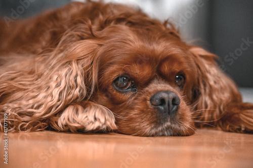 Fotografia cavalier king charles spaniel puppy