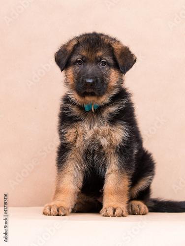 little german shepherd puppy sitting in the studio © Happy monkey