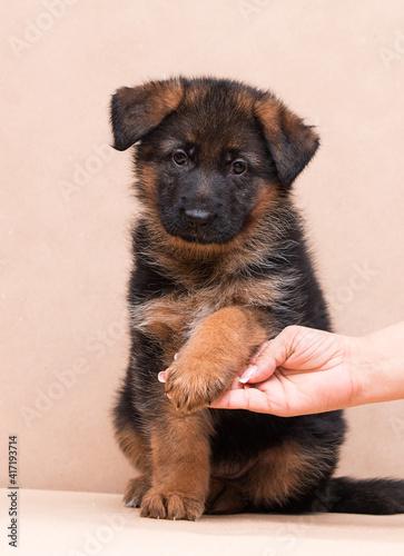 puppy gives paw, german shepherd in studio © Happy monkey