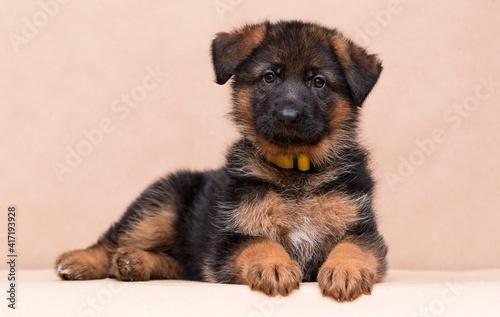 little german shepherd puppy lies in the studio © Happy monkey