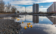 Yellow Rubber Ducks Swim In A Muddy Puddle On The Road